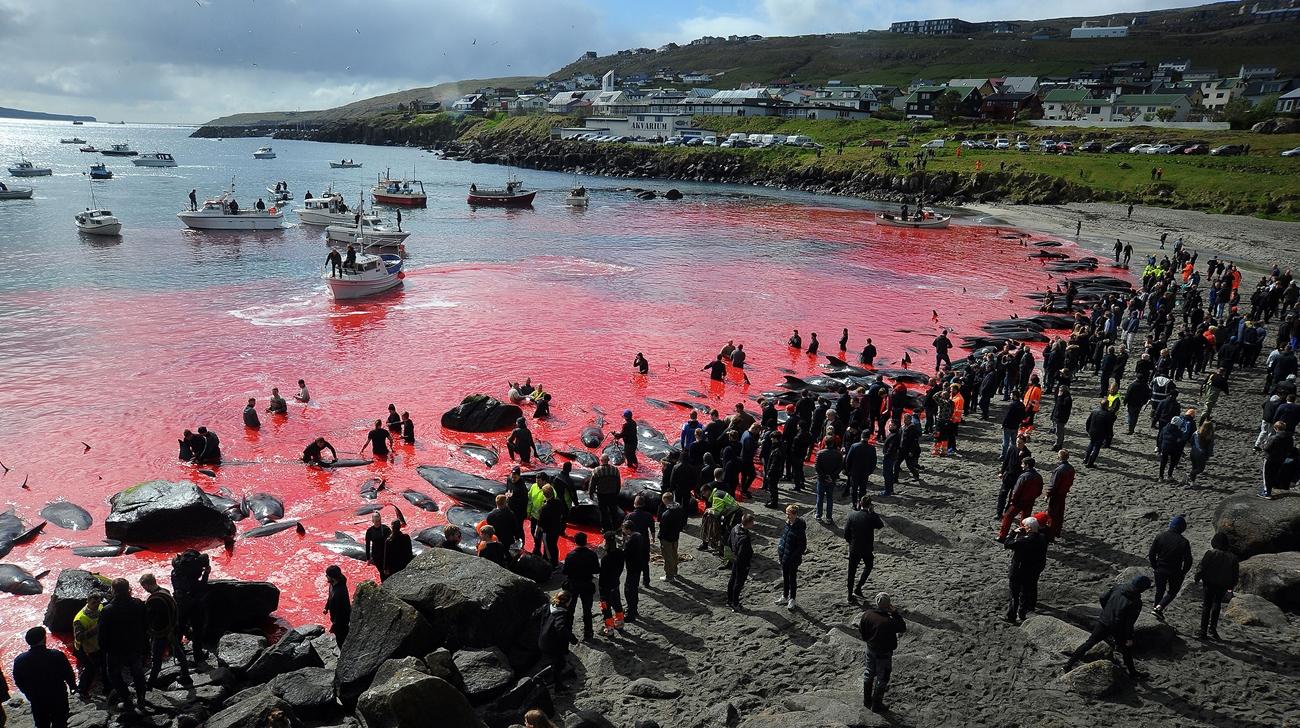La insostenible masacre anual de delfines en las Islas Faroe